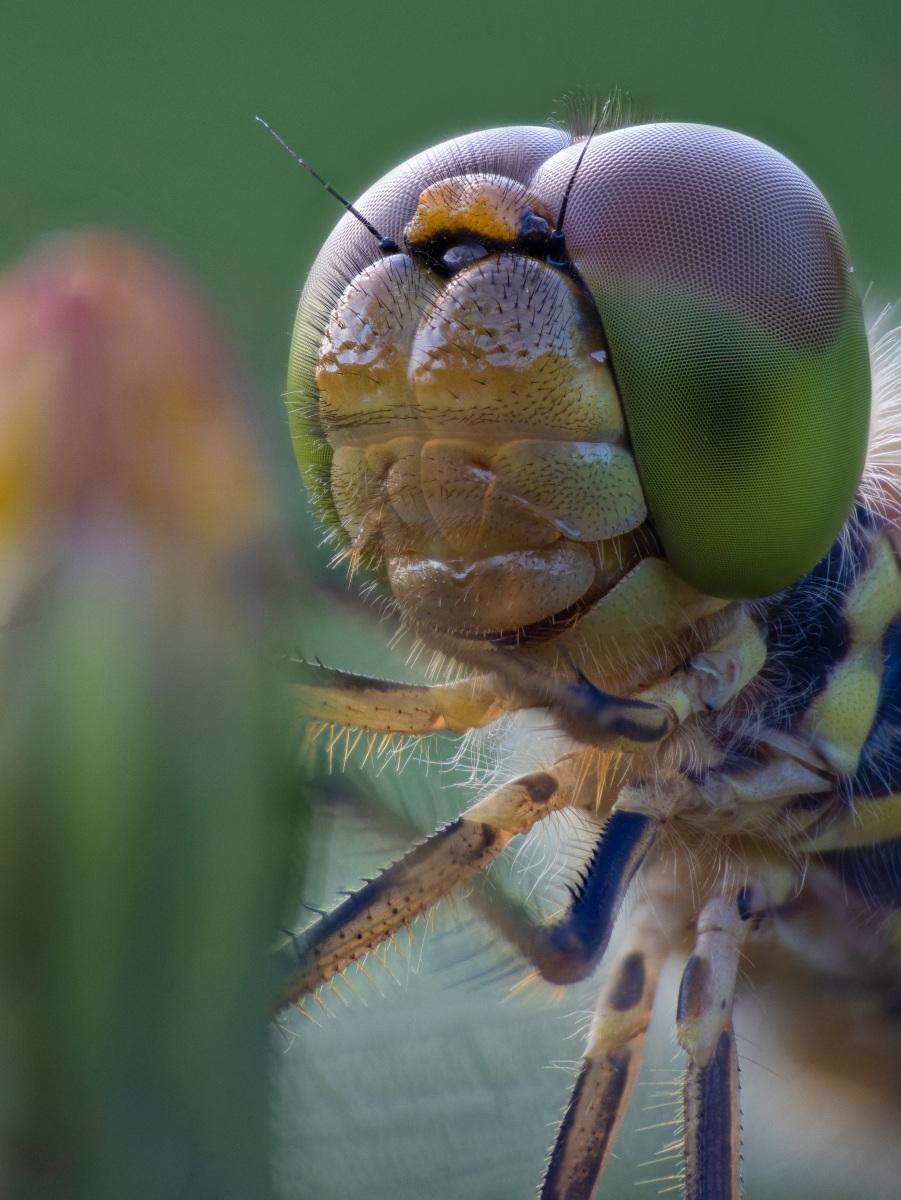 Kopf einer Heidelibelle(vermutlich)